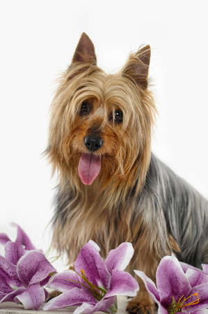 silky terrier: Silky Terrier