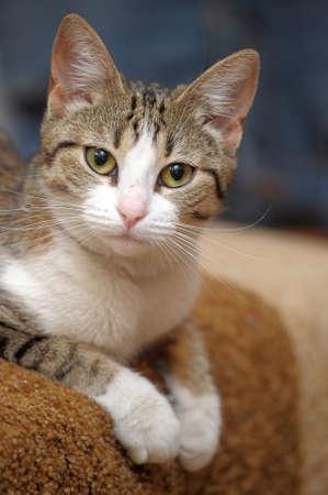 European short-haired cat photo