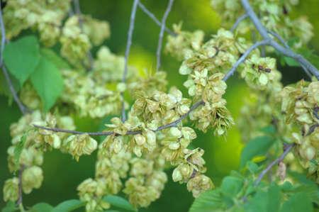 elm: Seeds of elm