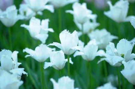 white tulips photo