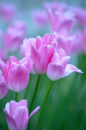 blooming. purple: tulips Stock Photo