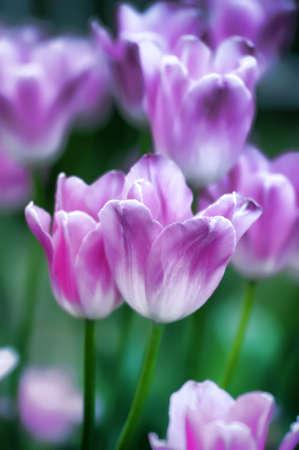 tulips Stock Photo - 13929084