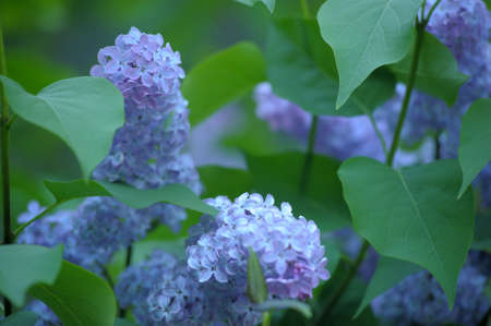 lilac on a tree Stock Photo - 13929183