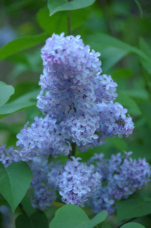 lilac on a tree Stock Photo - 13929315