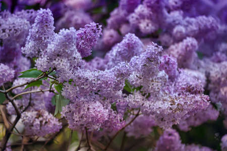 lilac on a tree Stock Photo - 13929170
