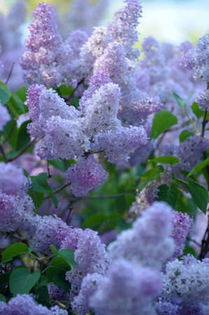 watery: lilac on a tree