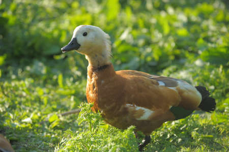 Close up of Ruddy Shelduck photo