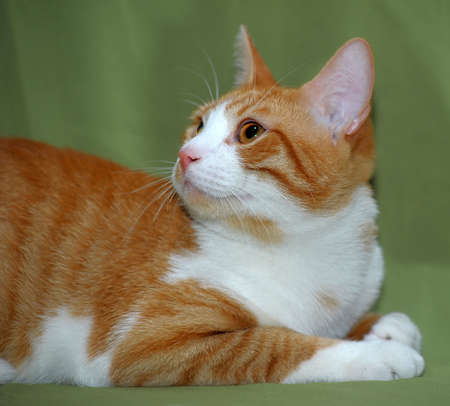 red and white cat photo