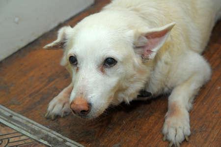 old sick dog  photo