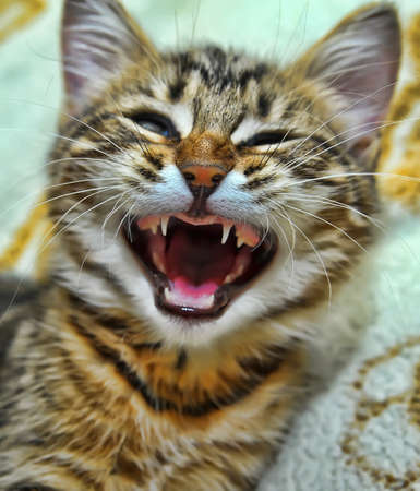 striped kitten yawns photo