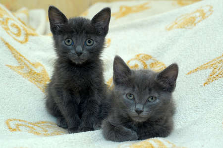 babyish: two gray kittens