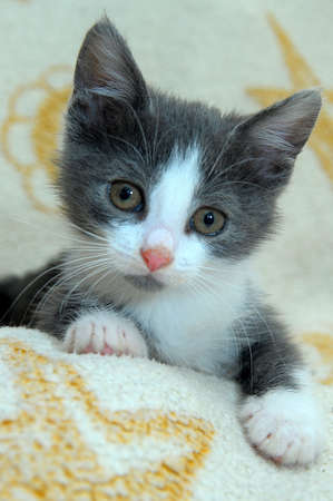 gray and white little kitty Stock Photo - 14094421