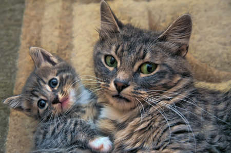 gray cat with a kitten photo