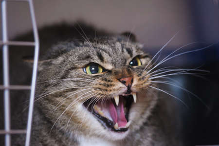 wild cat: angry cat hissing aggressive  Stock Photo