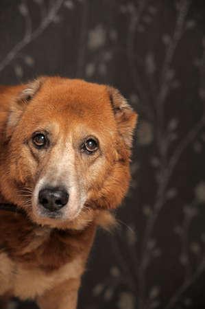 great pyrenees: Beautiful alabai central Asian shepherd dog
