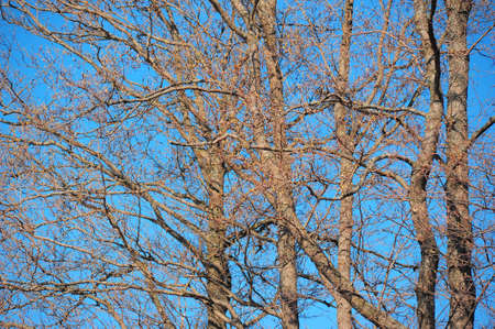 branches without leaves against the blue sky photo