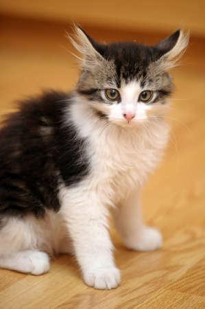 white with gray furry kitten funny photo