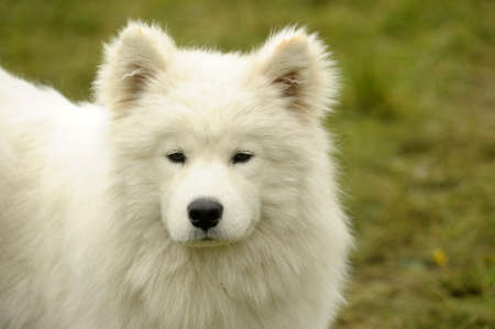 Samoyed dog - puppy in field photo