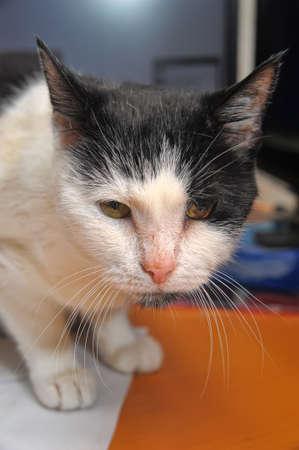 catamountain: old cat Stock Photo