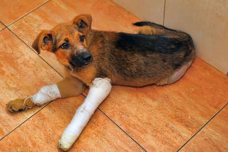 Perrito con una pata rota y yeso Foto de archivo