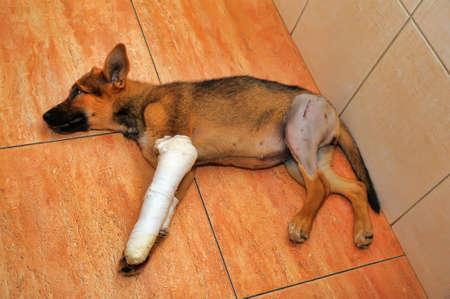 splint: Perrito con una pata rota y yeso Foto de archivo