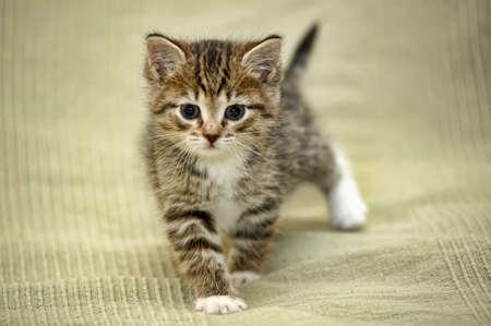 little fluffy tabby kitten photo
