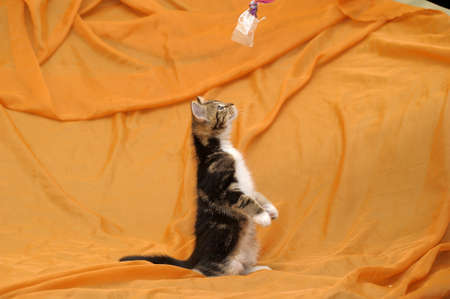 little fluffy tabby kitten Stock Photo - 14995414
