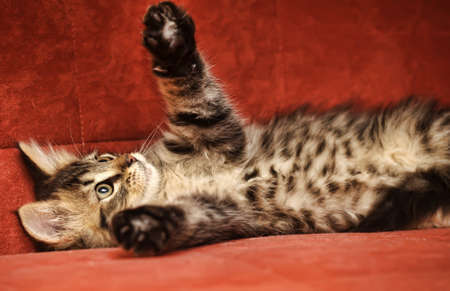 Cute Tabby Kitten Stock Photo - 14998978