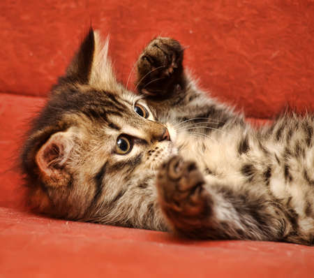 Cute Tabby Kitten Stock Photo - 14995424