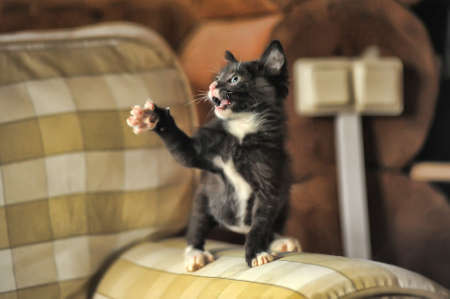 Black and white kitten Stock Photo - 15431286