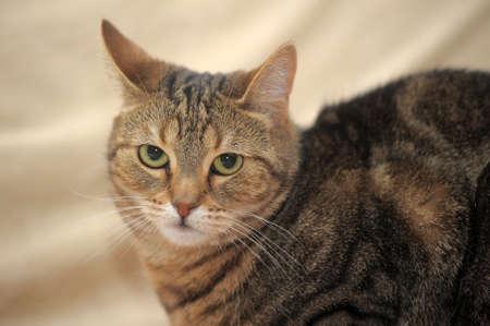 Tabby cat Stock Photo - 14907119