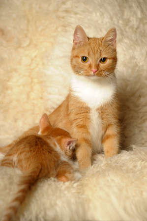 The red cat feeds a kitten photo