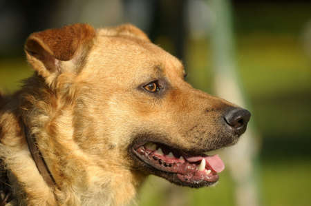 Portrait red dog Stock Photo - 14907495