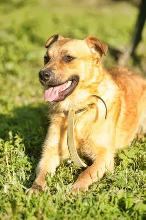 Portrait red dog photo