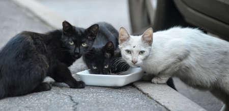 cats: gatti randagi in bianco e nero mangiare per strada