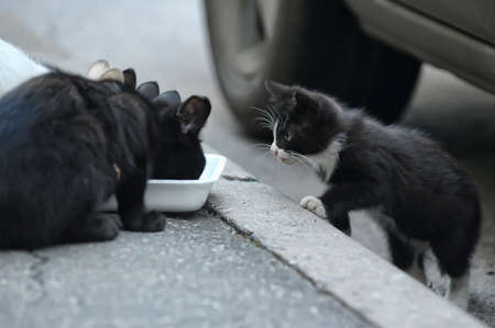 black and white stray cats eat on the street photo