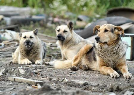 dog bite: Pack of homeless dogs  Stock Photo