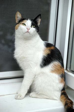 tricoloured: A beautifull female cat, with three colours