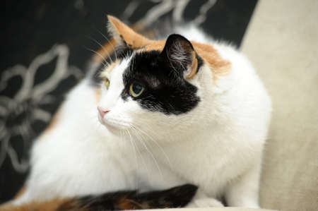 trichromatic: A beautifull female cat, with three colours