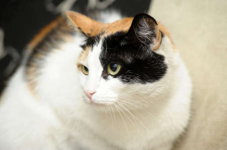 A beautifull female cat, with three colours photo