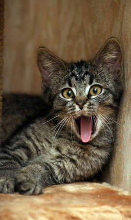 Yawning kitten photo
