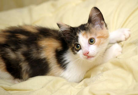 tri color: Little kitten
