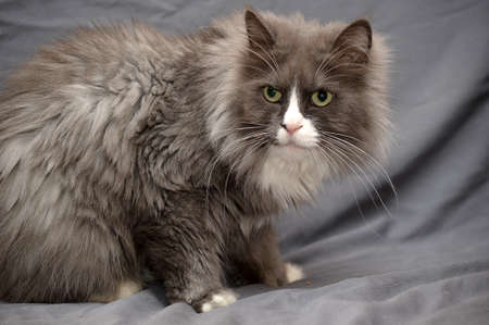 White and gray domestic turkish cat photo
