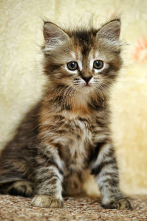 gray cat: Siberian kitten