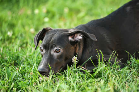 Black mixed breed portrait photo