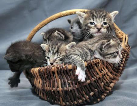 housepet: Kittens in a basket
