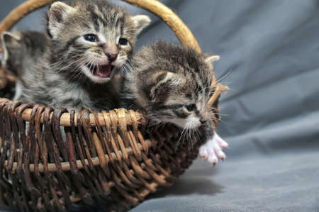 Kittens in a basket photo