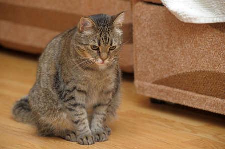 gray tabby: Gray Tabby Cat
