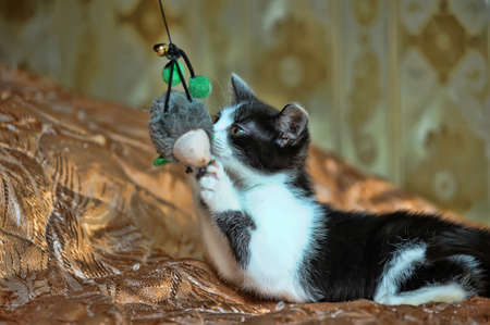 white with a black kitten plays Stock Photo - 14896856