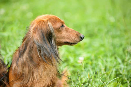 Long-haired Miniature Dachshund photo